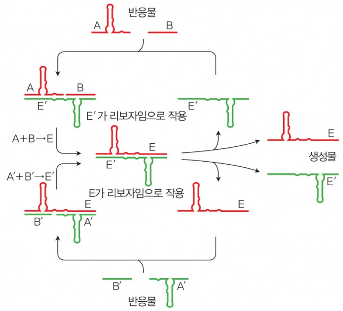 리보자임의 간접적인 복제 반응 - 서로 상호작용하면서 상대방의 합성을 촉매하는 두 리보자임(E, E′)이 만들어졌다. 염기 수십 개 길이의 RNA 반응물을 넣어주면 리보자임의 상보적인 염기서열에 붙은 뒤 화학결합이 생겨 새로운 리보자임이 만들어진다. - 과학동아 제공